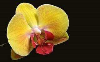 Виды желтой орхидеи Фаленопсис и правильный уход за ней