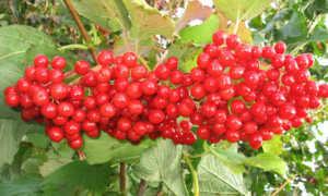 Калина признанная: описание и особенности выращивания, применение