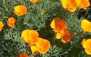 Эшшольция – выращивание, уход, посадка, вредители и болезни
