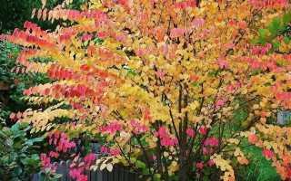 Удивительное растение багряник японский: описание и размножение