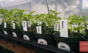 Посадка семян перцев на рассаду: основные шаги для получения здоровых сеянцев