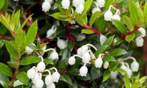 Гаультерия – Gaultheria: фото, условия выращивания, уход и размножение