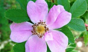 Неукрывные розы