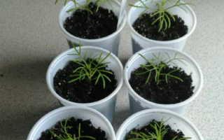 Способы выращивания Урсинии из семян
