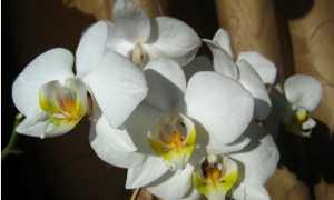 Роскошные сорта орхидей: Роттердам, Ринхостилис, Санук
