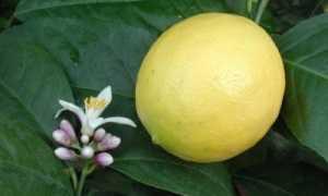 Секреты ухода за лимоном Мейера в домашних условиях