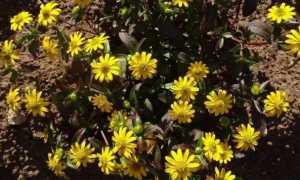 Цветок санвиталия Выращивание из семян Посадка и уход Черенкование Фото видов с названиями