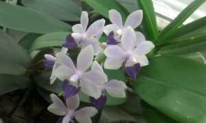 Орхидея Сапфир: описание и уход