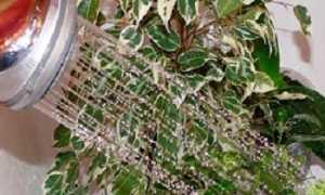 Начала практиковать горячий душ для комнатных растений и цветы преобразились на глазах