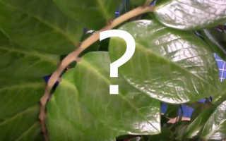 Почему погибает замиокулькас и как его реанимировать? Основные причины проблем и способы восстановления цветка