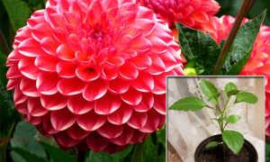Георгины из семян: выращивание, посадка и уход