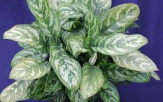 Растения домашние с разноцветными