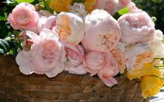 Красные пионовидные розы