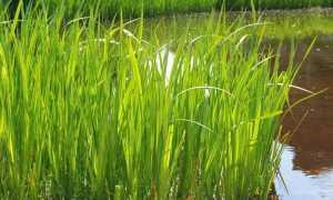 Аир болотный: описание и фото