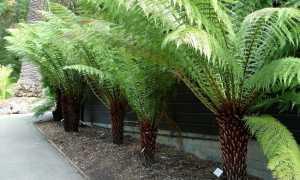Диксония (Dicksonia). Выращивание, уход, размножение.