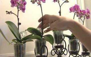 Фаленопсис: уход, фото, размножение и виды, полив