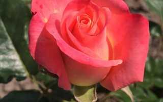 Способы выращивания роз в саду.