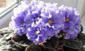 5 сортов фиалок с огромными цветами
