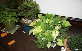 Толмия Мензиса (Tolmiea menziesii) — описание, выращивание, фото