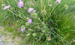 Короставник полевой: лечебные свойства и противопоказания, фото, посадка и уход в саду