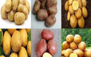 Картофель 'Укама' — описание сорта, характеристики