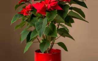 Домашнее растение рождественская звезда