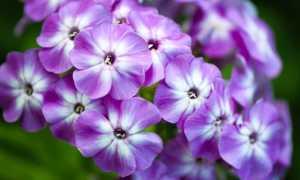 Чем подкормить флоксы: весной и осенью для пышного цветения в саду