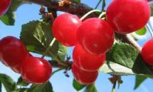 Вишня зимняя белая: описание и особенности выращивания, применение