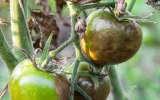 Лечение фитофторы на томатах: средства и препараты