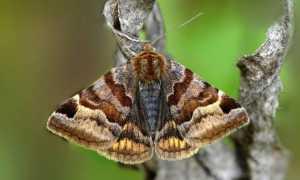 Озимая совка (гусеница): как обнаружить и бороться, внешний вид, фото