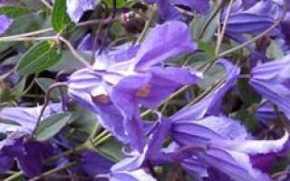 Княжик альпийский – Atragene alpina, Clematis alpina: фото, условия выращивания, уход и размножение