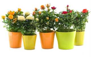 Роза Кордана — красива и дома и в саду