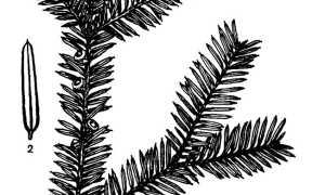 Торрея тисолистная: описание и особенности выращивания, применение