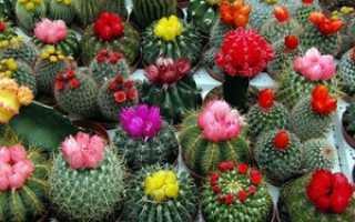 Какие кактусы цветут