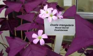 Цветок и комнатное растение кислица обыкновенная домашняя: на фото треугольная, лесная и др.