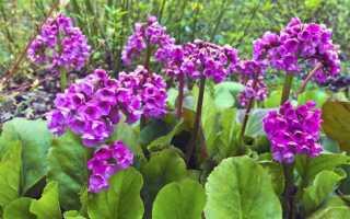 Цветок бадан: уход и выращивание в открытом грунте