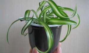 Хлорофитум – самое полезное комнатное растение