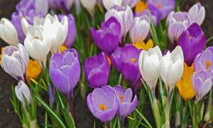 Крокусы посадка и уход, размножение, цветение, пересадка, зимовка, болезни, фото и видео