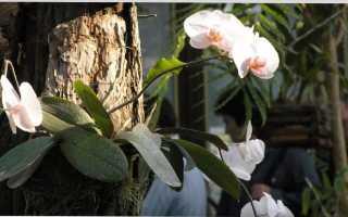 Предельно допустимые рамки тепла для орхидеи