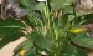 Почему желтеют листья спатифиллума, что делать, чтобы спасти цветок? Причины недуга и способы лечения