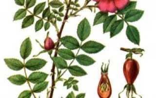 Лечебные и полезные свойства цветов шиповника