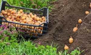 Описание сорта картофеля Жуковский ранний: подробная характеристика с фото и видео