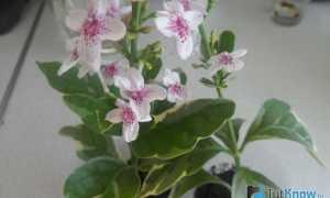 Пизония зонтичная (Pisonia umbellifera) — описание, выращивание, фото