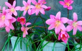 Зефирантес крупноцветковый – Zephyranthes grandiflora: фото, условия выращивания, уход и размножение