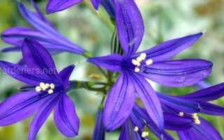 Цветок иксилирион татарский: посадка и уход