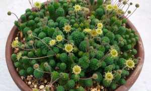 Монантес (Monanthes) — описание, выращивание, фото