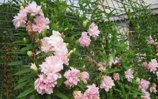 Цветок калистегия: посадка и уход в открытом грунте, фото, выращивание и виды
