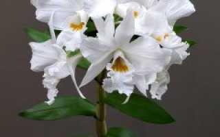 Рассказываем про размножение орхидеи Дендробиум и уход в домашних условиях