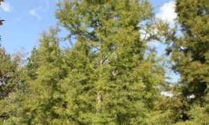 Таксодиум (болотный кипарис): описание и фото, выращивание и виды