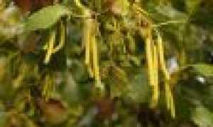 Виды ольхи: описание и особенности выращивания, применение